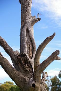Karra scar tree, Malone & Telfer (1)