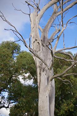 Karra scar tree, Malone & Telfer (2)