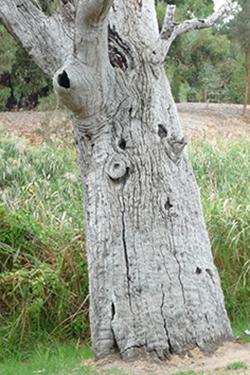 Karra scar tree, Malone & Telfer (3)