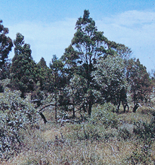 Native pine, Quandong &  Golden Wattle, The Pinery, 1958 (Photo D. N. Kraehenbuehl)
