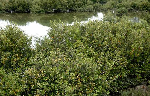 Mangroves, Upper Port Reach Malone & Telfer